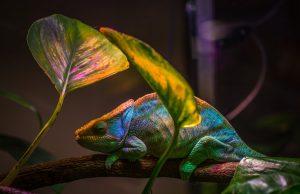 colourful chameleon in spotlight under leaves