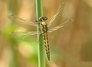Gold dragonfly on green stem