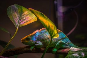 colourful chameleon in spotlight under leaves