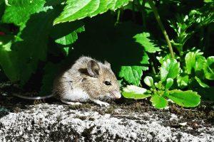 rat on a stone