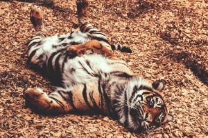 happy tiger lying on his back