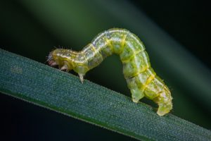 caterpillar on a twig