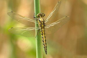 Gold dragonfly on green stem